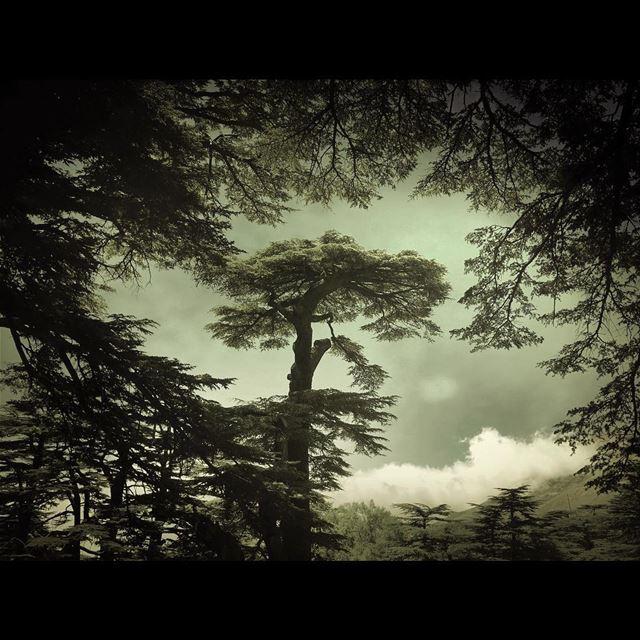 Cedars Of Lebanon 🔴🔴⚪️🌲⚪️🔴🔴