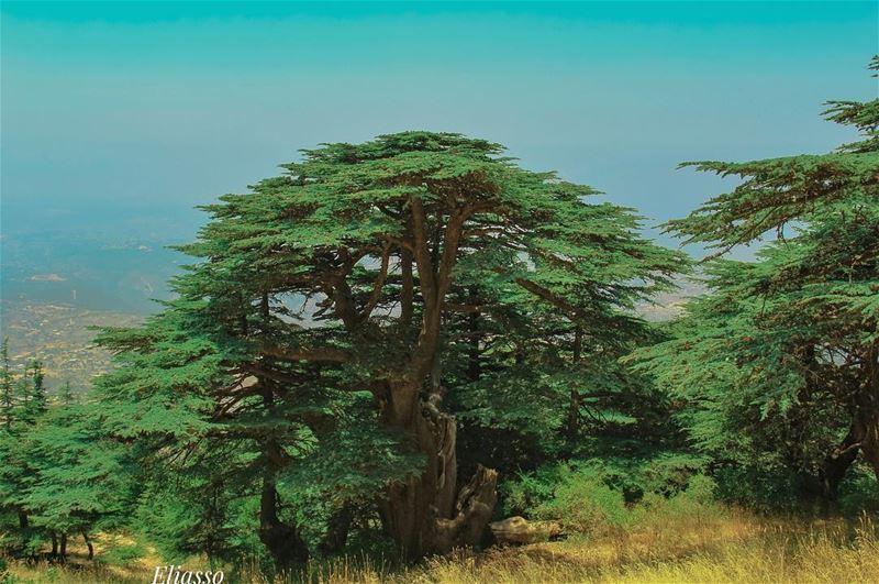 .–––––––––––––––––––––––––––––––––––Location: MaasserElChouf Lebanon–– (Arz el Maasser)