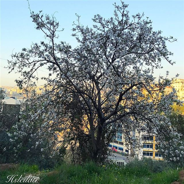 Good morning ❤️first blossoms 🌸whatsuplebanon ig_Lebanon insta_lebanon... (Yarzeh)