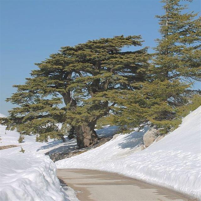If trees could speak they wouldn't lebanon barouk oldesttree cedar ... (Al Shouf Cedar Nature Reserve)