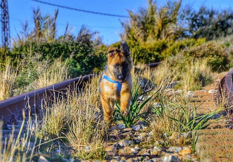 🐶🐶.... dog dogs animals dogslover puppy puppies germanshepherd...