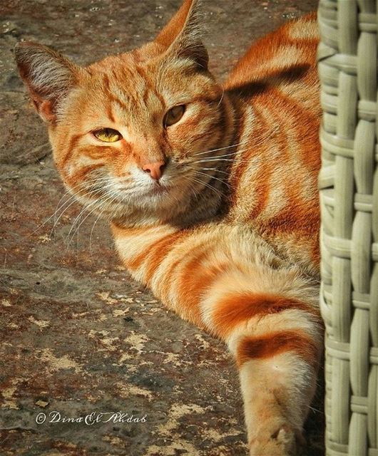 🐱____ 961lens animal animalkingdom cat profileshot catphotography ... (Tripoli, Lebanon)