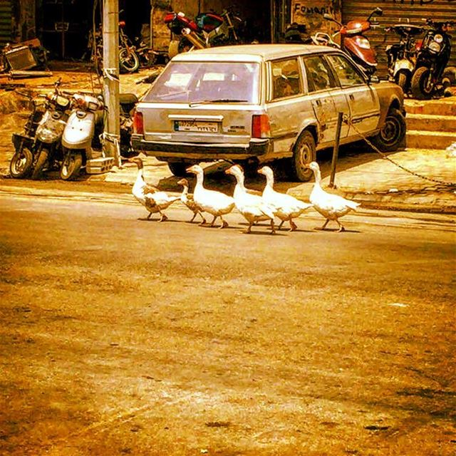 Ducks in Beirut (photo captured by @balameddine ) lebanon beirut ...