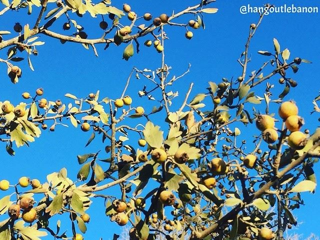 If you're hiking somewhere in Lebanon, pay attention to this fruit. It's (Blida, Al Janub, Lebanon)