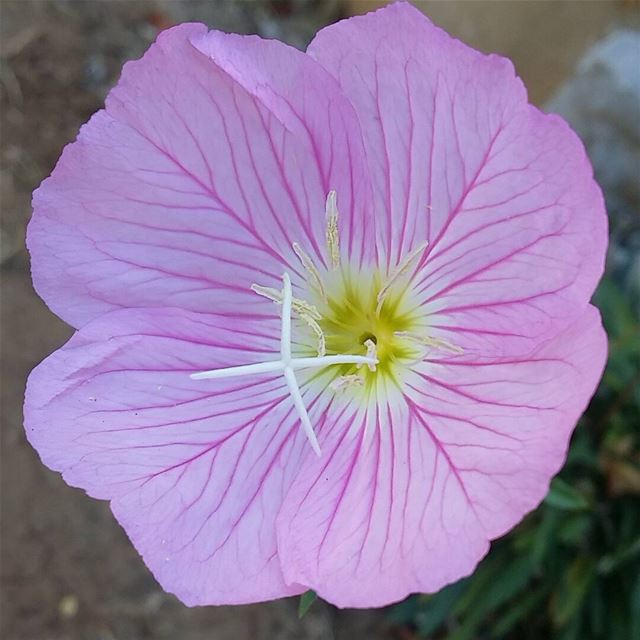 nofilter beauty beautiful flower pink nature lebanon mountain ...
