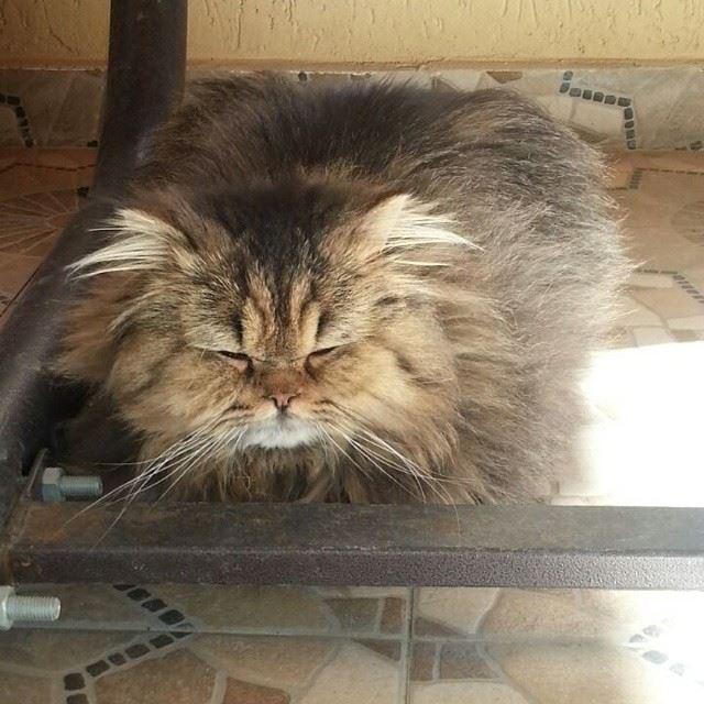 choupette the cat lebanon home beirut catsofinstagram catsrequest ...