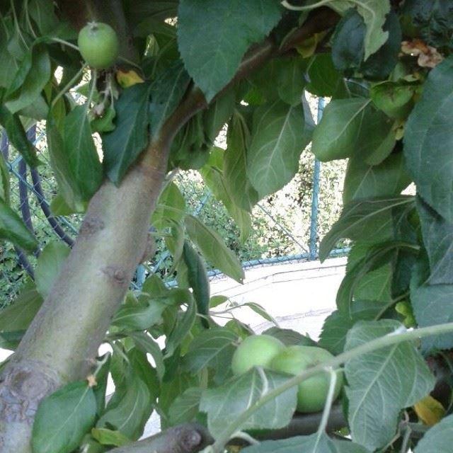 green apple tree bzebdine home food mountain lebanon ...