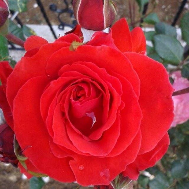 ورود الدار summer rose beautifullebanon bzebdine lebanon morning ...