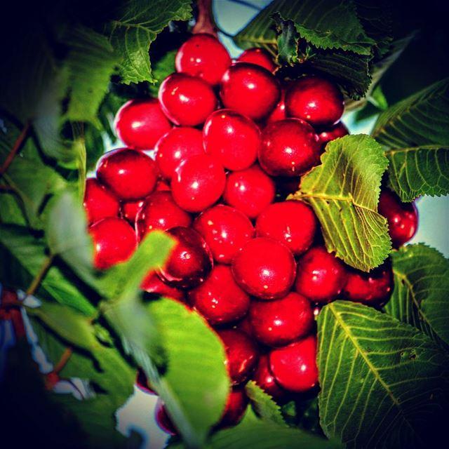 cherries cherries🍒 lebanon northlebanon north ouyounorghoch ...