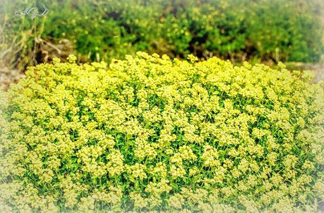 flowers rose roses mountain natural veiw yellow green instayellow...