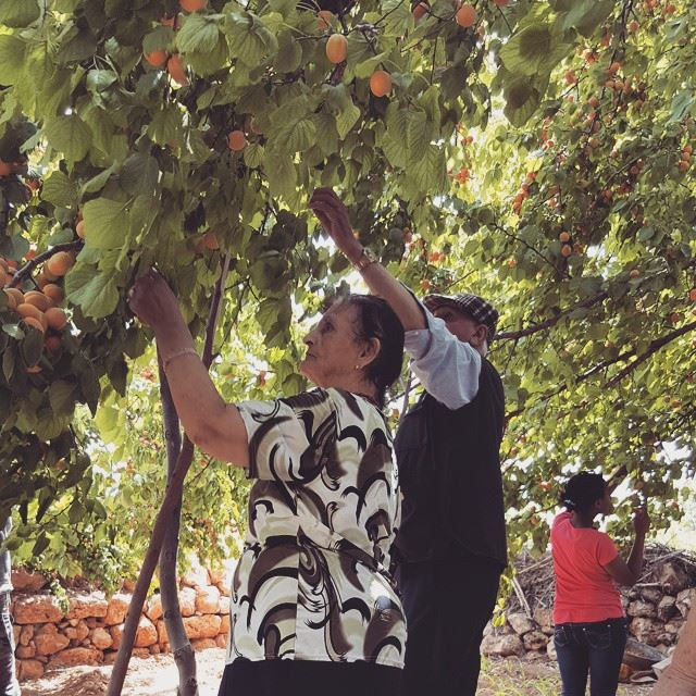 baalbak bekaa lebanon apricot ...