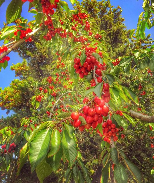 It's raining cherry 💙🌳🍒🌳💙________________________________________... (Ehden, Lebanon)
