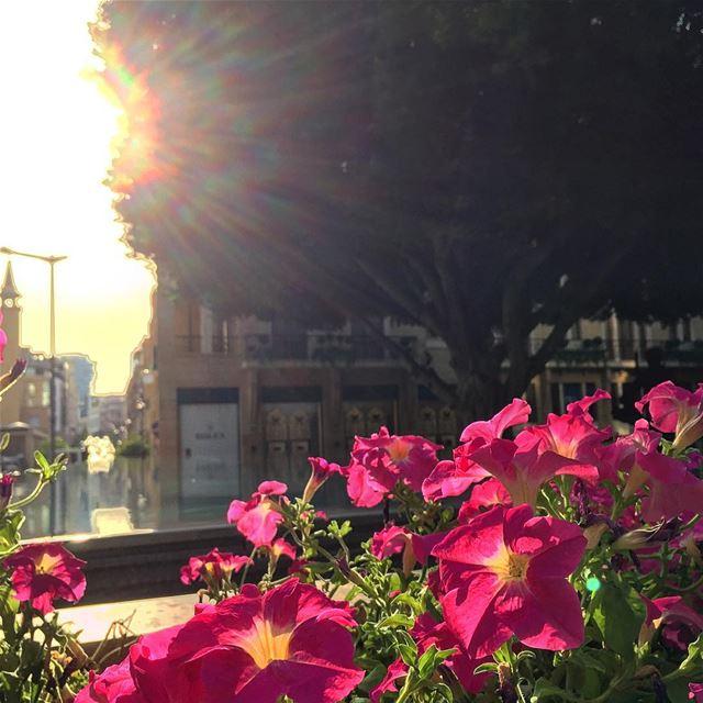 sunset flowers flowersofinstagram golden rays splendid sun nature ... (Beirut, Lebanon)