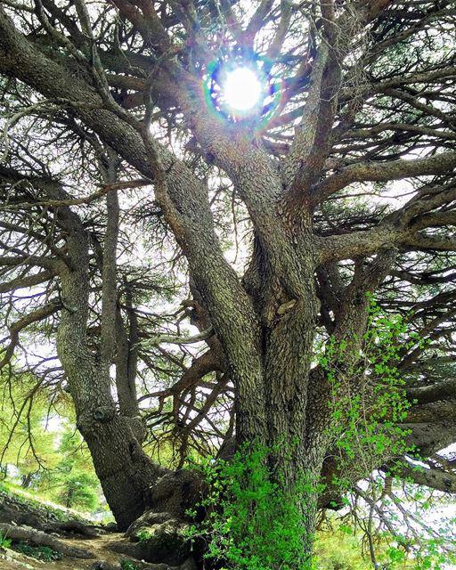 hiking nature naturelovers naturecolors cedar trees WhatsUpLebanon... (Barouk Cedar Forest)