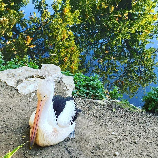 shy bird beak feathers water reflection animals animallovers ...