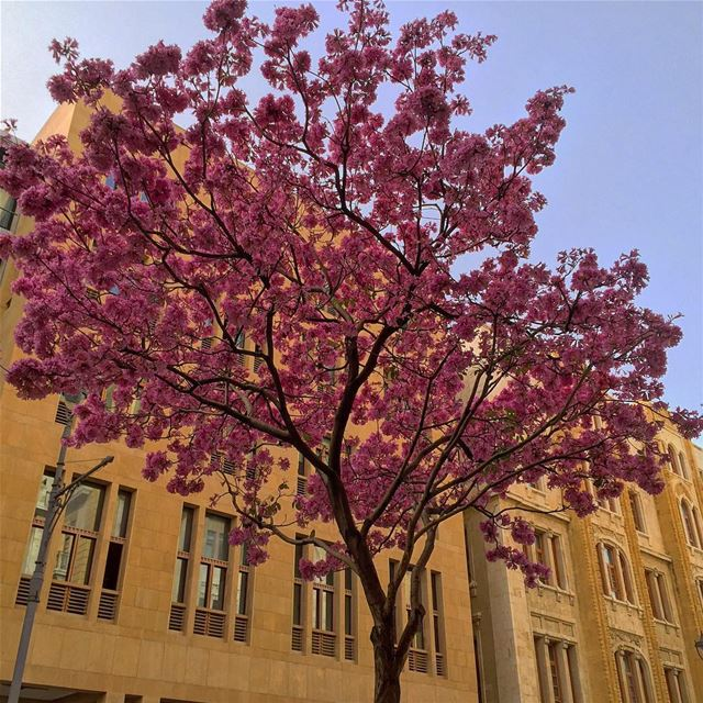spring purple trees nature naturecolors downtown architecture ... (Downtown, Beirut, Lebanon)