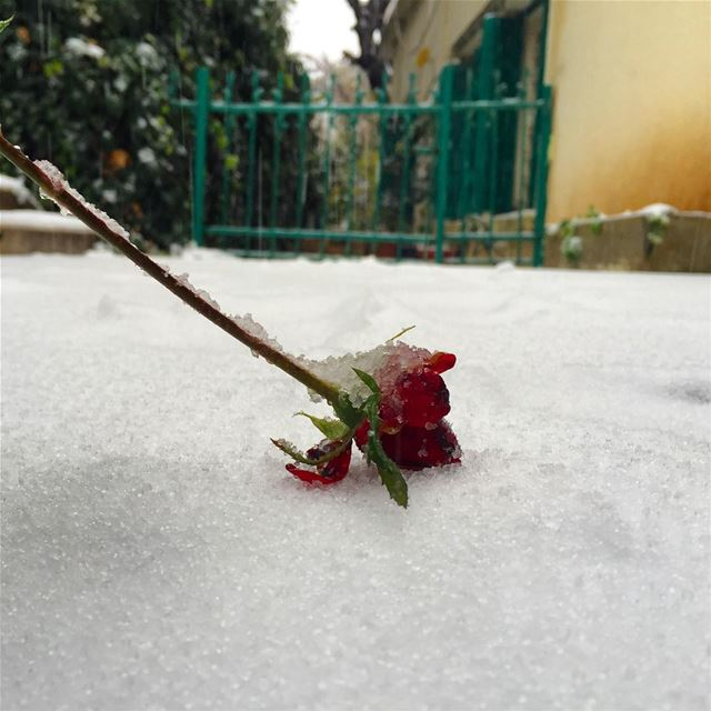 snow dead rose love cold winter snowy new year igers igdaily ... (Baabdâte, Mont-Liban, Lebanon)
