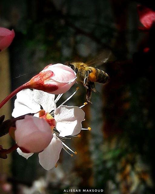 """"""" كوني نحلة واقفة على زهرة،ليست واثقة بالزهرة ، بل بجناحيها. """" 🐝💕💫💫💫 (Bakhoun, Liban-Nord, Lebanon)"""