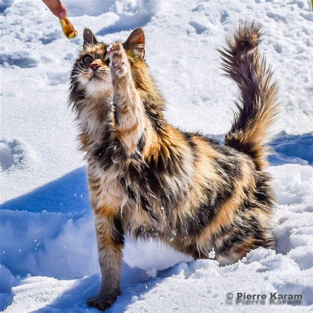 give me food wild cat pet eating snow sunny lebanon lebanese ...