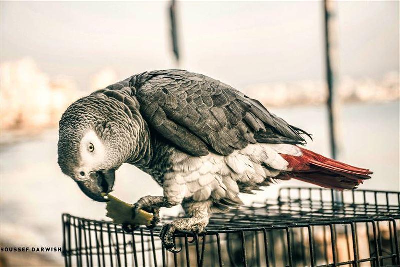 nikon nikond7100 d7100 parrot photography Lebanon ...