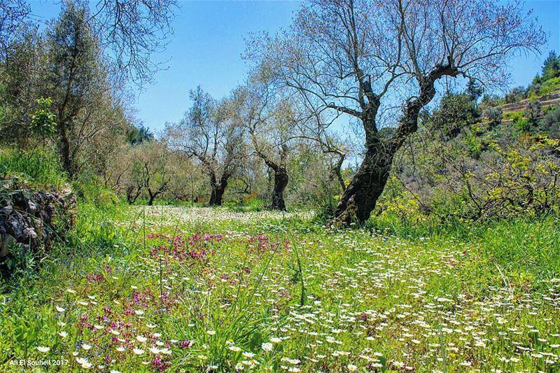 tb chouf baaqline flowers olive trees green nature sky lebanon ... (Baaqlîne, Mont-Liban, Lebanon)
