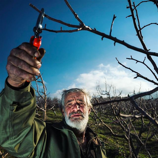 It's pruning time for Lebanese apple-growers. To the Lebanese ...