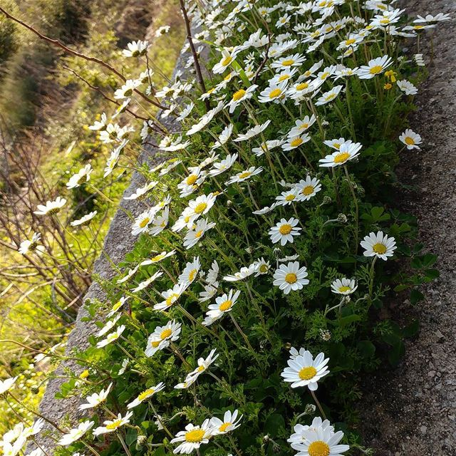 Spring is coming. spring changeofseasons daisies lebanon wildflowerجاي (Dayr Al Qamar, Mont-Liban, Lebanon)