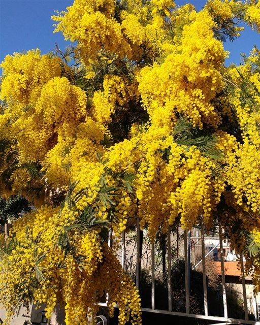 Spring explosion here and there. Got to plant these!! mimosa flower ... (Dayr Al Qamar, Mont-Liban, Lebanon)