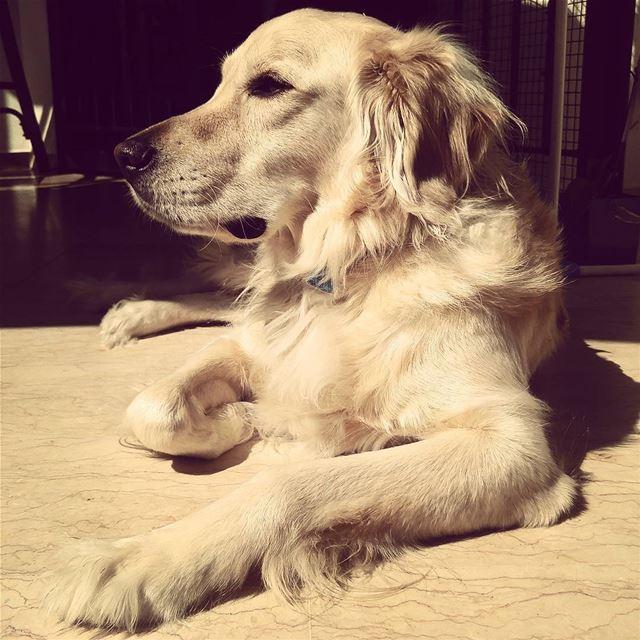 love Woody hehasmyheart ilovemydog purelove goldenretriever ...