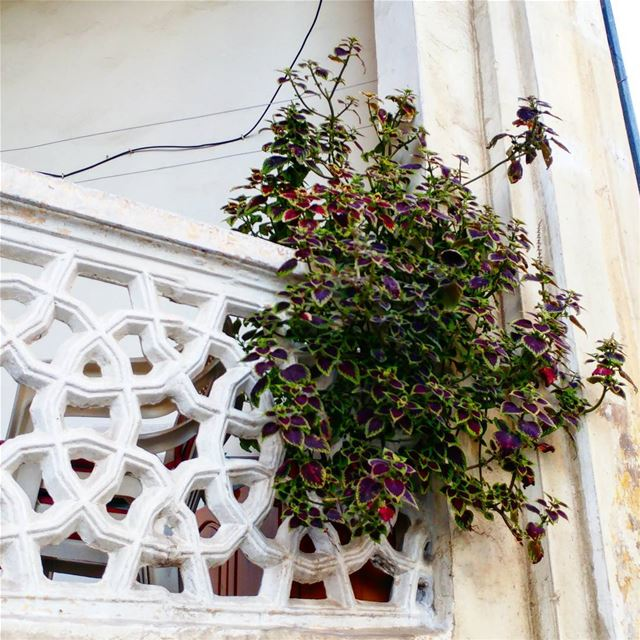 Plant jutting out of a balcony in my old neighborhood. beirut ... (Sanayeh Park)