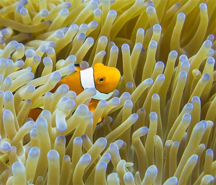 Found Neemo !...popping up from his anemone meet the  clownfish, shot in...