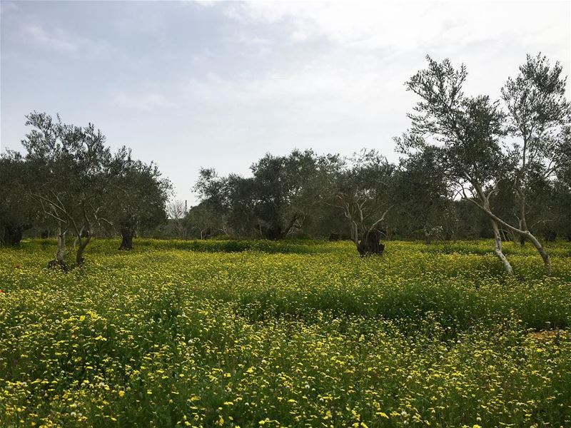 maghdouche this morning 😍😍😍 lebanon beautifulnature olivetrees ... (Maghdoûché, Liban-Sud, Lebanon)