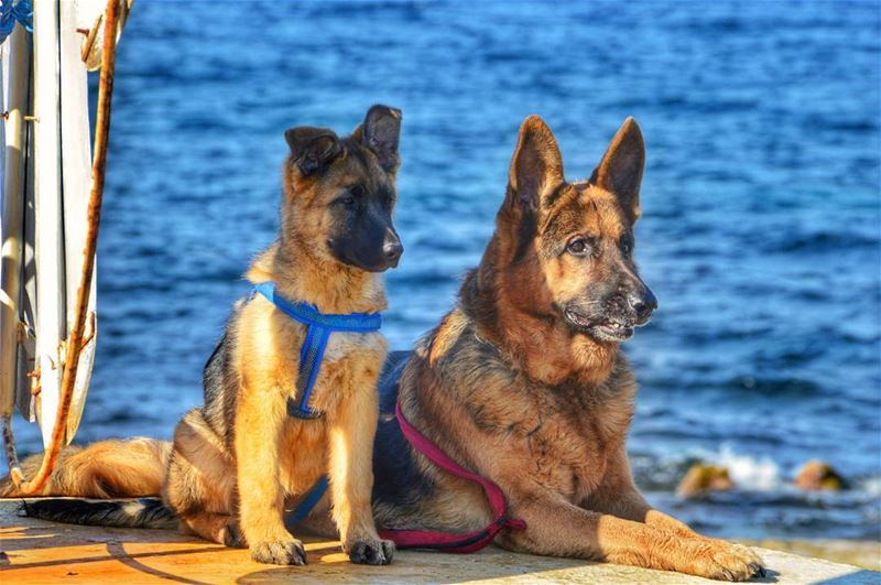 🐺🐺..... dogs dog doglover nature beach ocean germanshepherd german... (Anfah, Liban-Nord, Lebanon)