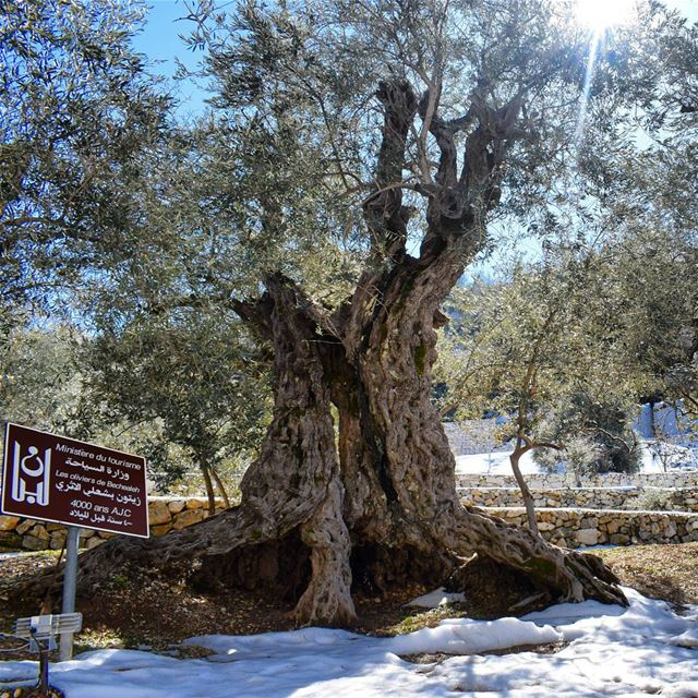 A 6000 Years Old Tree 🌳 (Bchaalé, Liban-Nord, Lebanon)