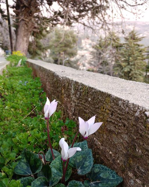 Cyclamen are popping-up everywhere (they love to jut out of rocks), along... (Dayr Al Qamar, Mont-Liban, Lebanon)