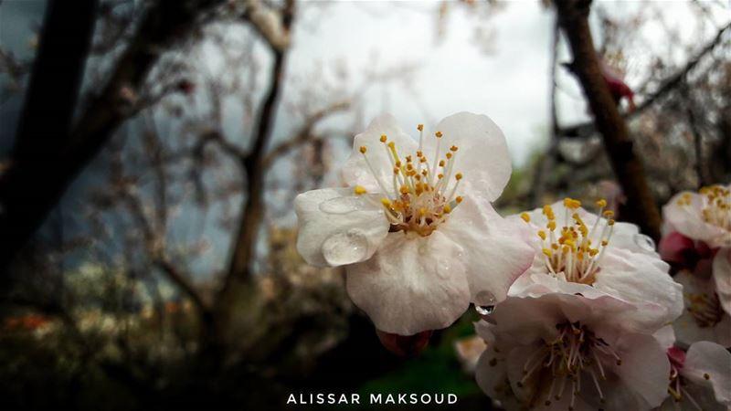 """""""قتل الزهور لن يؤخر الربيع."""" 💫💫💫💫💫💫💫💫💫💫💫💫💫💫 by_me Alissar ... (Bakhoun, Liban-Nord, Lebanon)"""