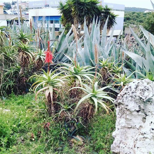 В Ливане похолодало,но кактусы цветут(как и все остальное,что цвело🌵😉😊)... (University of Balamand)