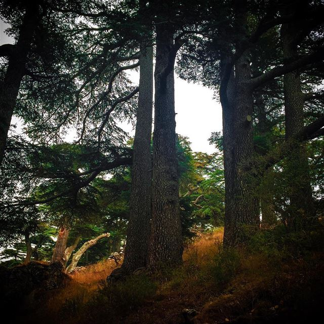 All enduring things are wild and free... lebanon cedars ... (The Cedars of Lebanon)
