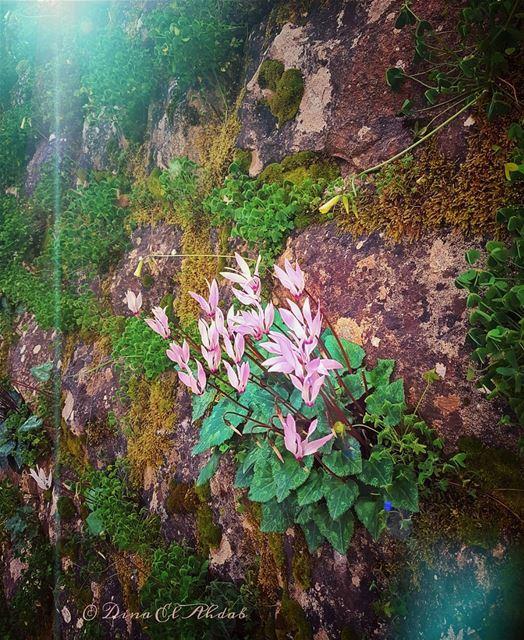 Si les petites fleures sont capables de franchir les murs en roches, c'est... (Mansourieh)