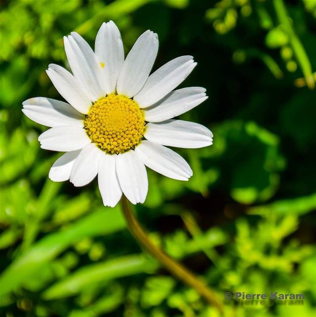 daisies are like sunshine on the ground good morning peace and ...