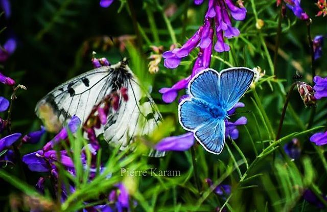 Have a peaceful day blue butterfly green nature lebanon lebanese ...
