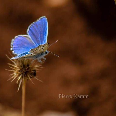 lady butterfly bleu nature lover livelovelebanon livelovebeirut ...