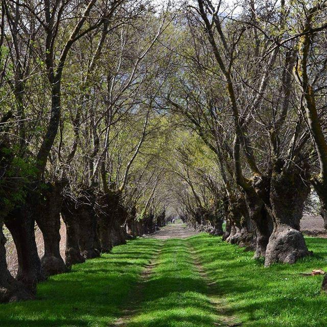 ammiq_bekaavalley natureview naturelovers lebanonpassion lebanontree ...