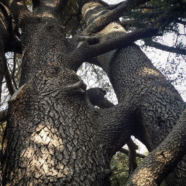 When two trees grow very close to each other, they often self-graft and ... (Cedars Of Lebanon)